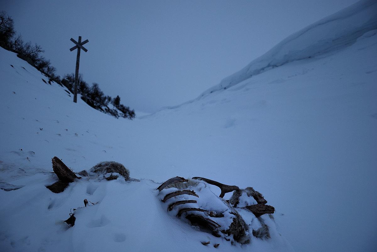 Reindeer Corpse