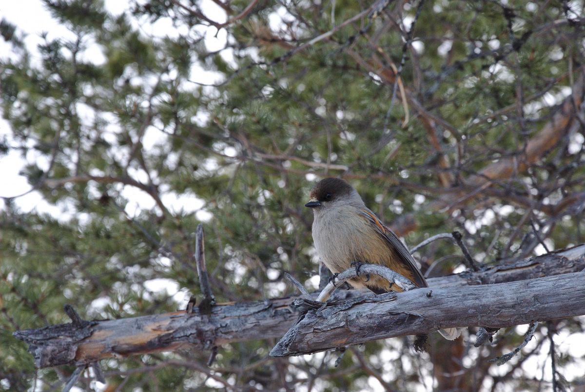 Kuukkeli (Siberian Jay)