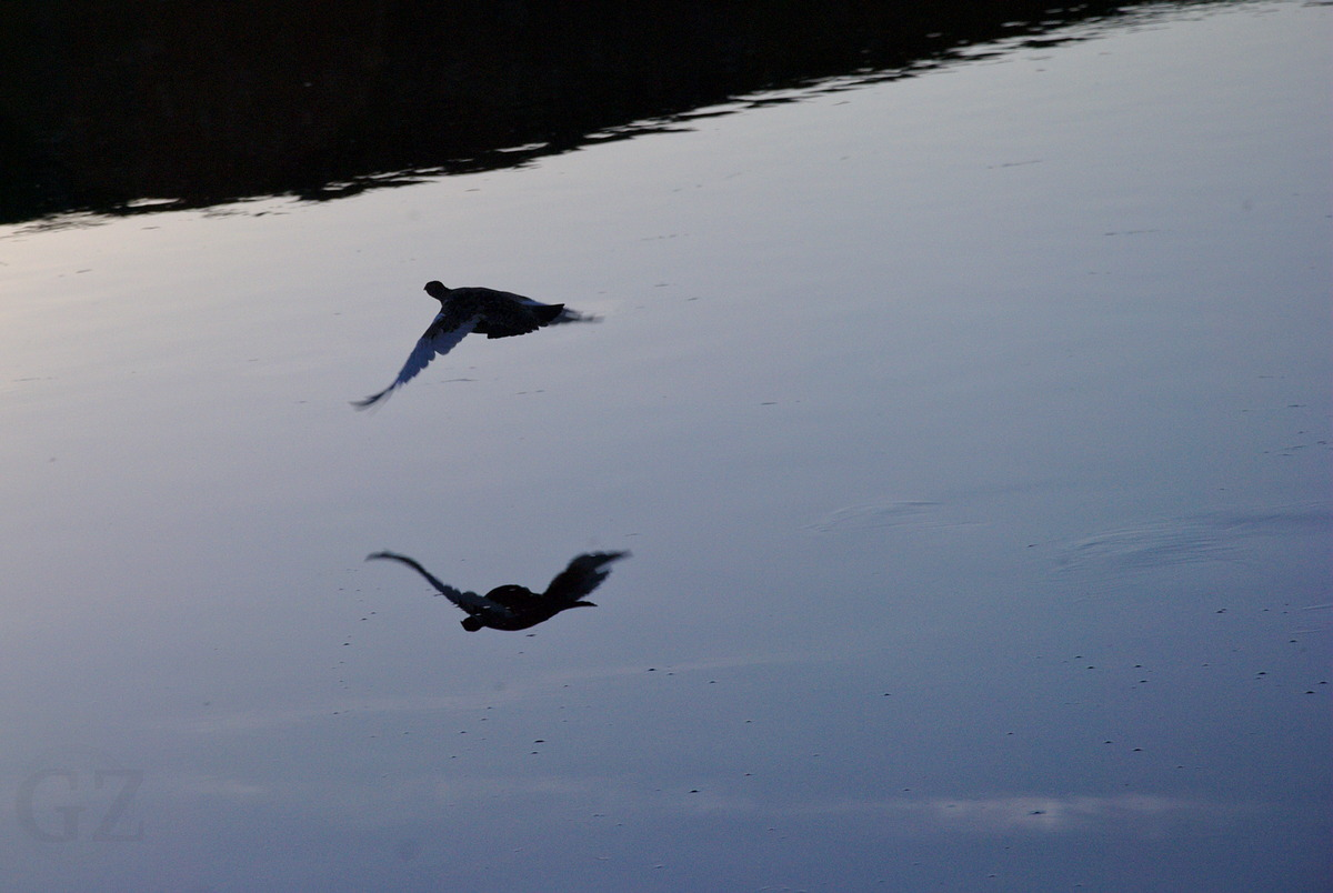 Willow ptarmigan flying over the lake and it's mirror in the water