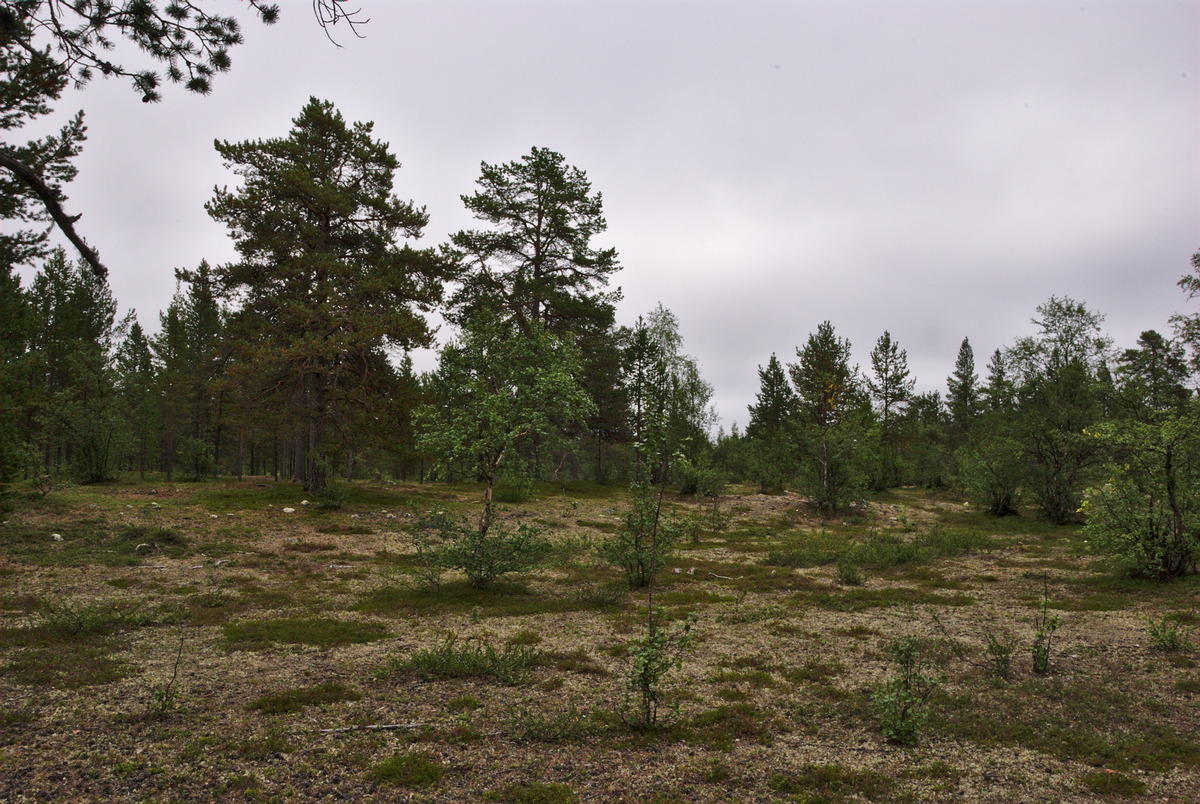 Forest n the area, with just a few trees, and lot's of lichen on the ground