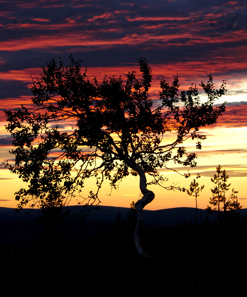 Silhouette of a birch tree with colourful clouds in the background