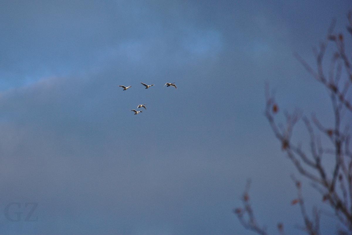 Swanes traveling southward