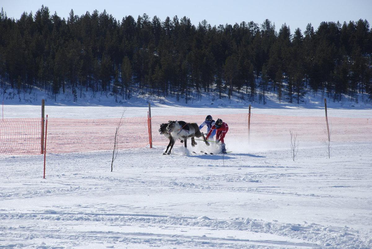 Racing Reindeer