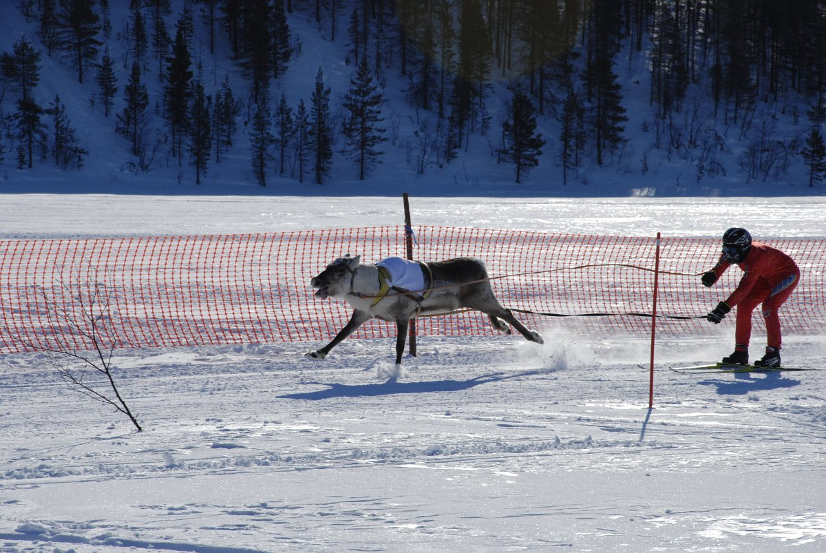 reindeer pulling a skier during race