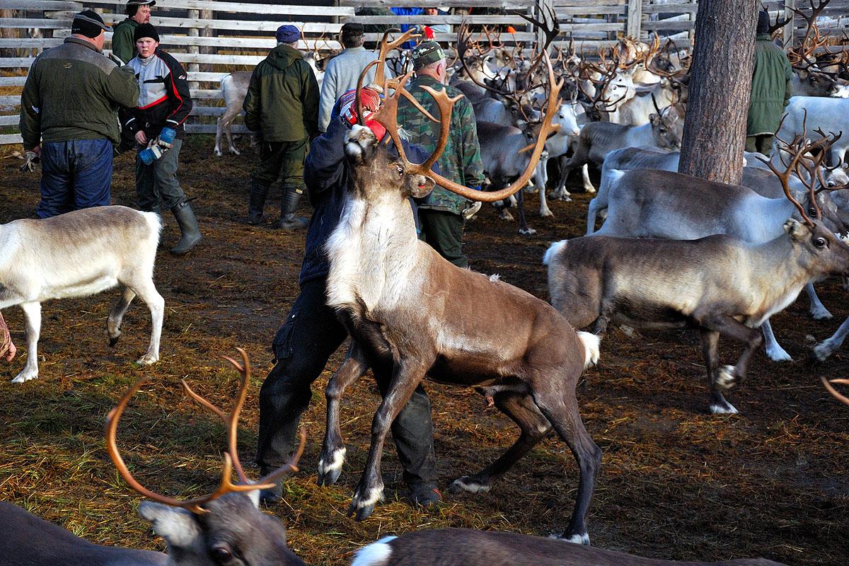 Reindeer Round Up