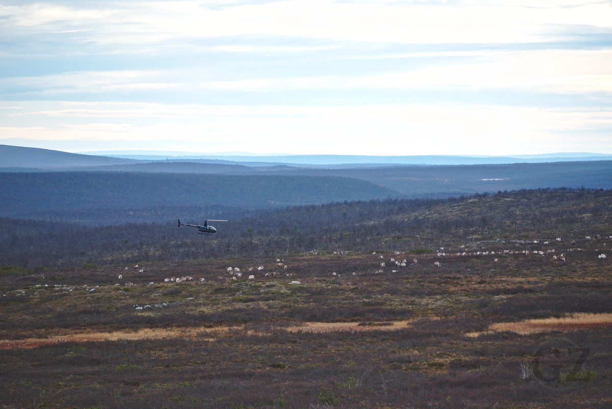 a helicopter following reindeer herd