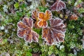Cloudberry leaves