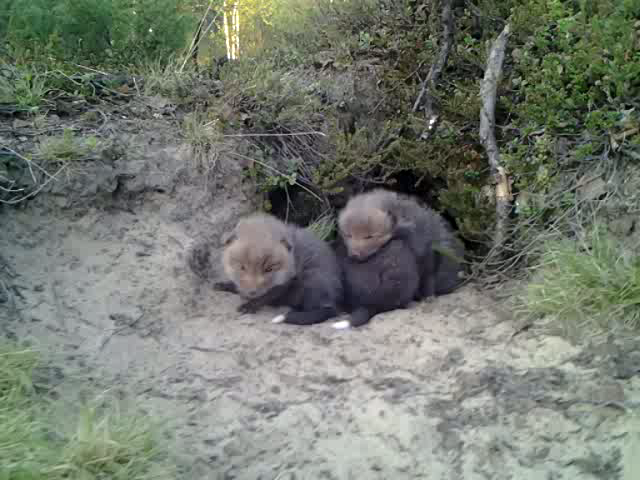 Fox infants in front of their fox hole