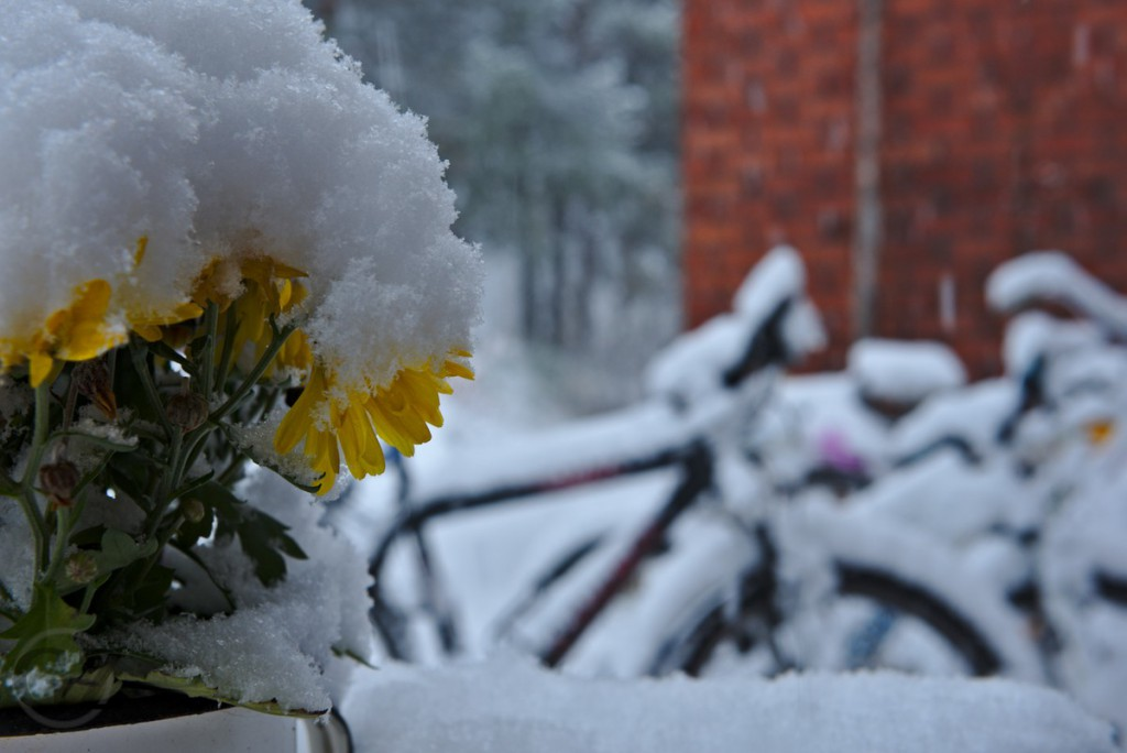 snow covered flowers and bicycles