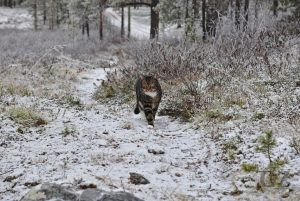 cat walking on slightly snow covered trail