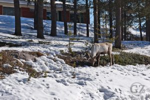 reindeer grazing between apartment houses