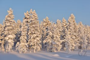 snow covered trees in sunlight